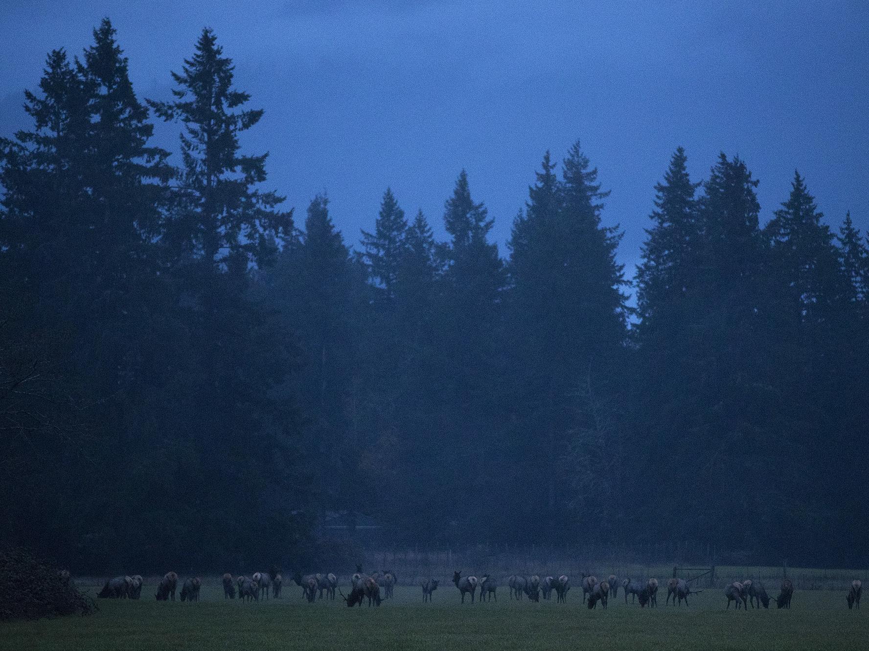 Elk Raise Tensions Between Tribes And Farmers In Washington's Skagit Valley