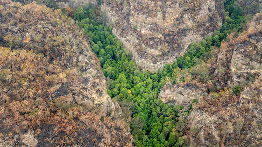 Aussie Firefighters Save World's Only Groves Of Prehistoric Wollemi Pines