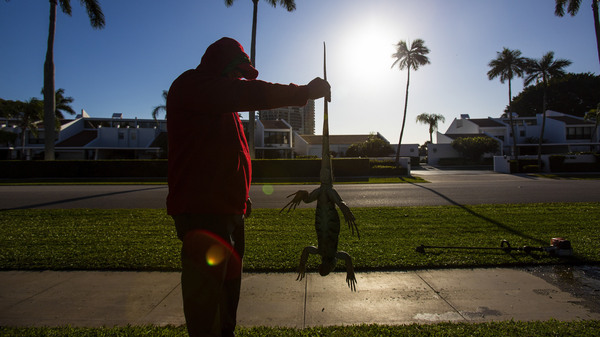 "A man holds a cold-stunned iguana outside an apartment complex in West Palm Beach, Fla., on Wednesday. ""This isn"