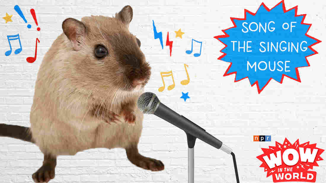 What do humans, bottlenose dolphins, and the singing mice of the Costa Rican cloud forests have in common? Well according to a new scientific study, we all share the power of singing...in duets! Join Mindy, Guy Raz, and Reggie, as they visit these singing mice and witness this vocal turn taking with their own ears! It's the Who, What, When, Where, Why, How and Wow in the World of Singing Mice!