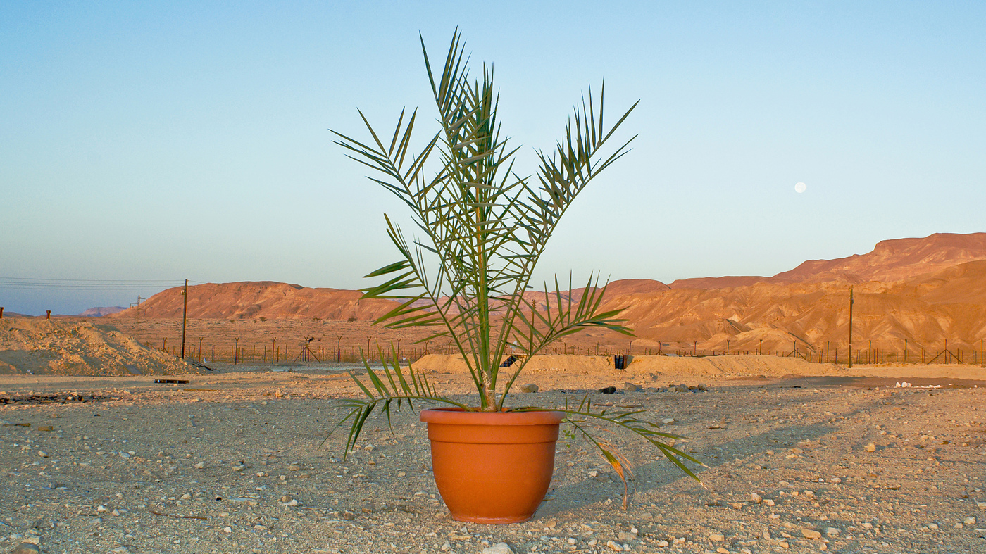 Scientists Grow Date Trees From 2 000 Year Old Seeds The Salt Npr