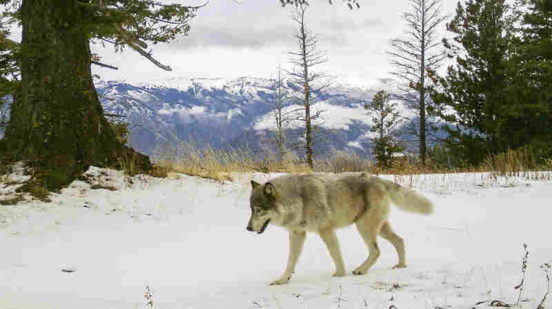 Colorado Voters Are Set To Decide If Wolves Should Be Reintroduced To The State