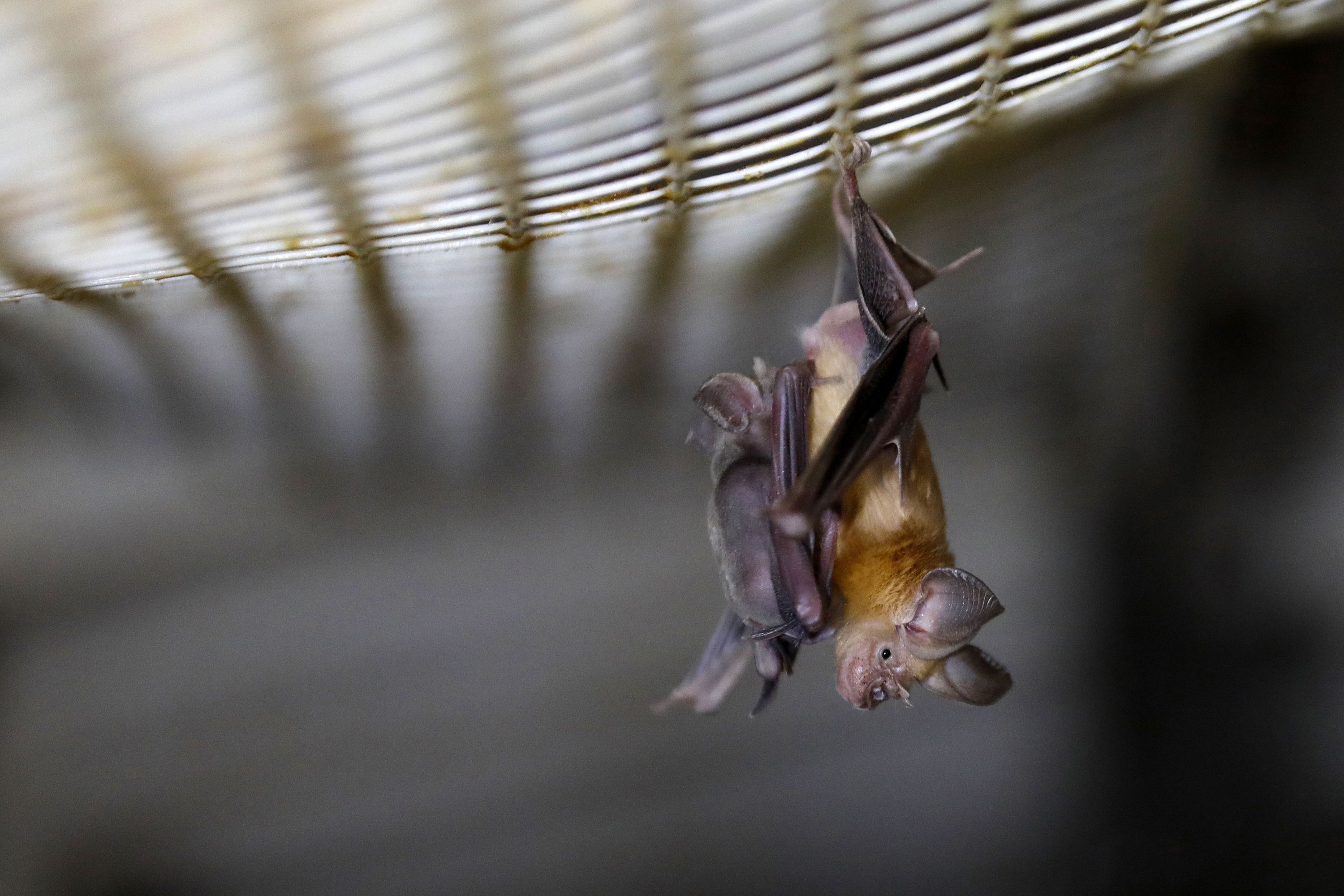 Bats Carry Many Viruses. So Why Don't They Get Sick?