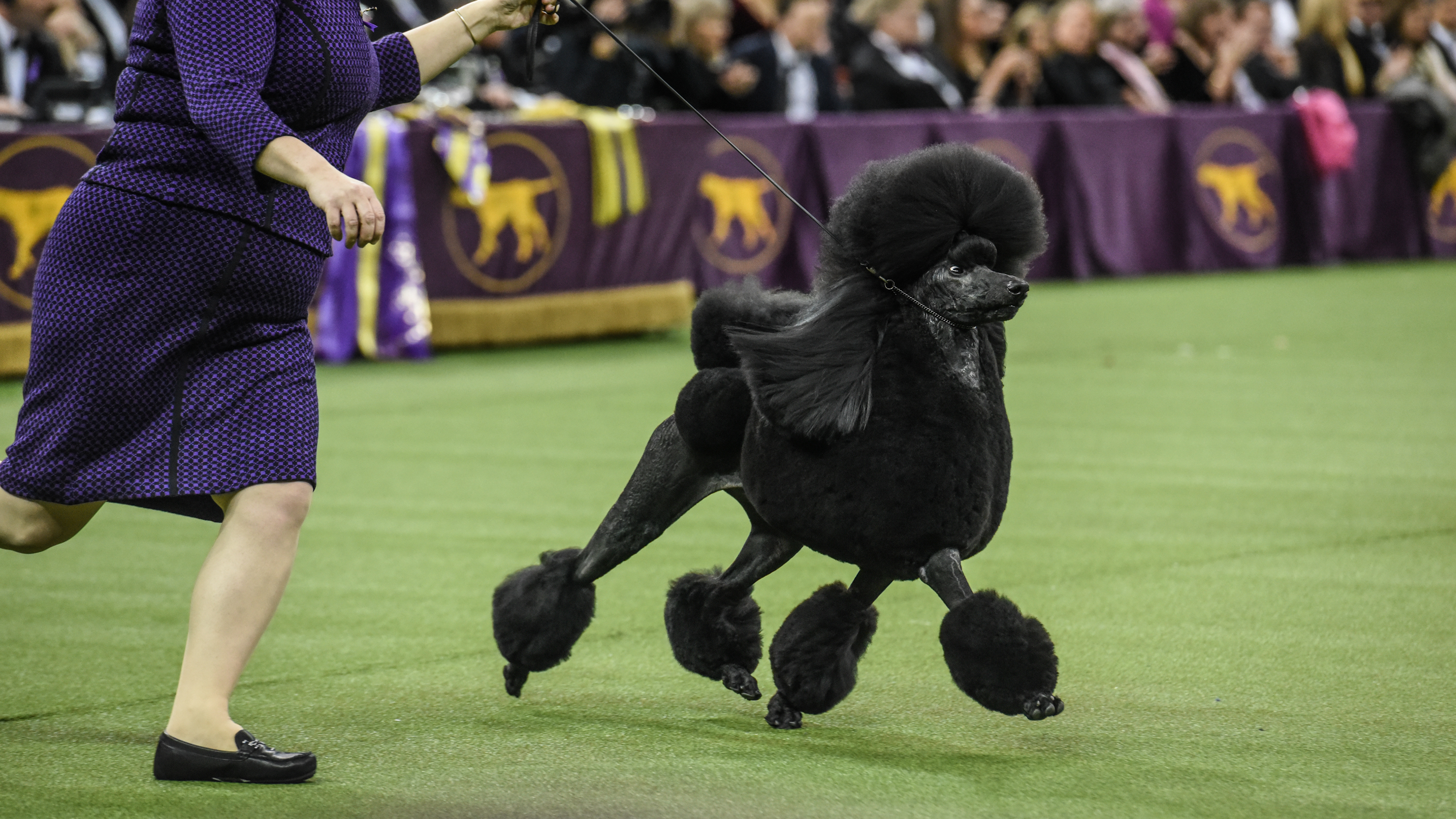 Siba is America's top dog after taking the Best in Show award Tuesday at the Westminster Kennel Club dog show in New York