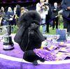 Пудель Себа - рекордсмен, победив любимца фанатов Дэниела в игре Westminster Crown