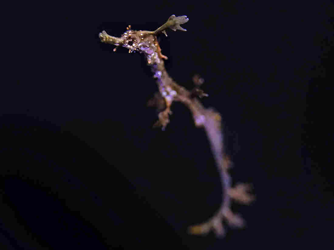 Westlake Legal Group ap_20044819391777-53f85ddcd67addf1b374f411dbecfbea69c20177-s1100-c15 Rare Weedy Seadragons Hatch At California Aquarium