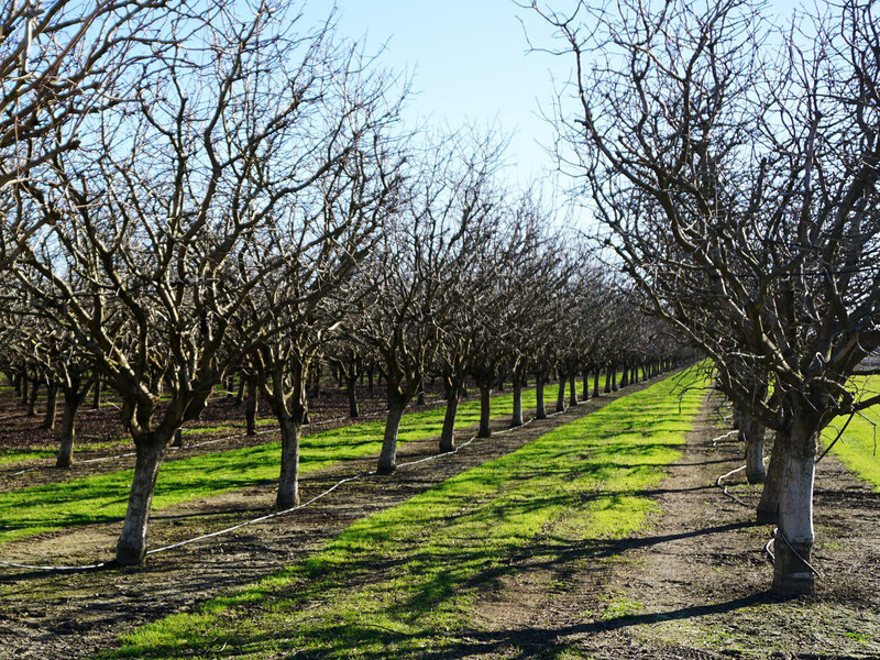 Warm Winters Threaten Nut Trees Can Science Help Them Chill Out