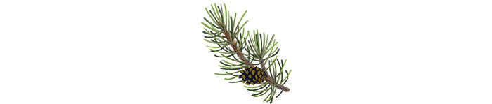 Lodgepole pine  | Illustration by Cornelia Li for NPR