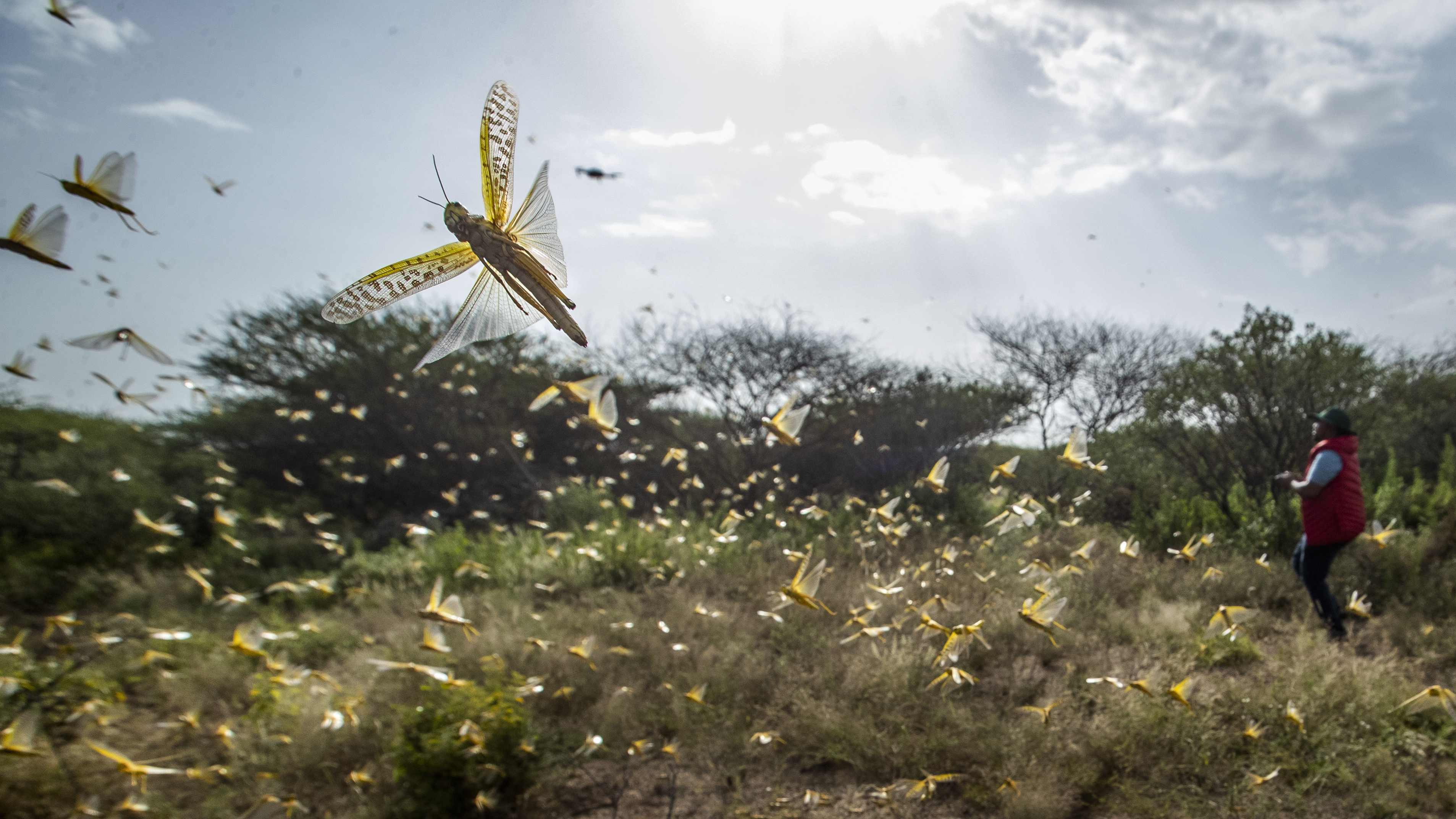 Why Are Swarms Of Locusts Wreaking Havoc In East Africa?
