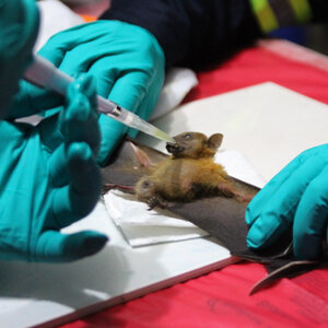 New Research: Bats Harbor Hundreds Of Coronaviruses, And Spillovers Aren't Rare