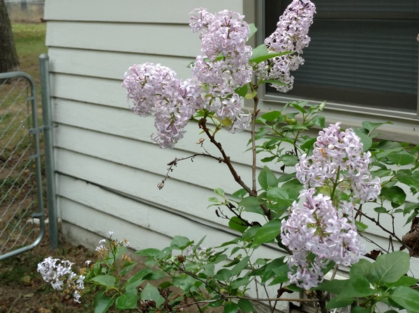 In Andrew Lynch's front yard, lilacs began to bloom in early winter, which Lynch found unusual.