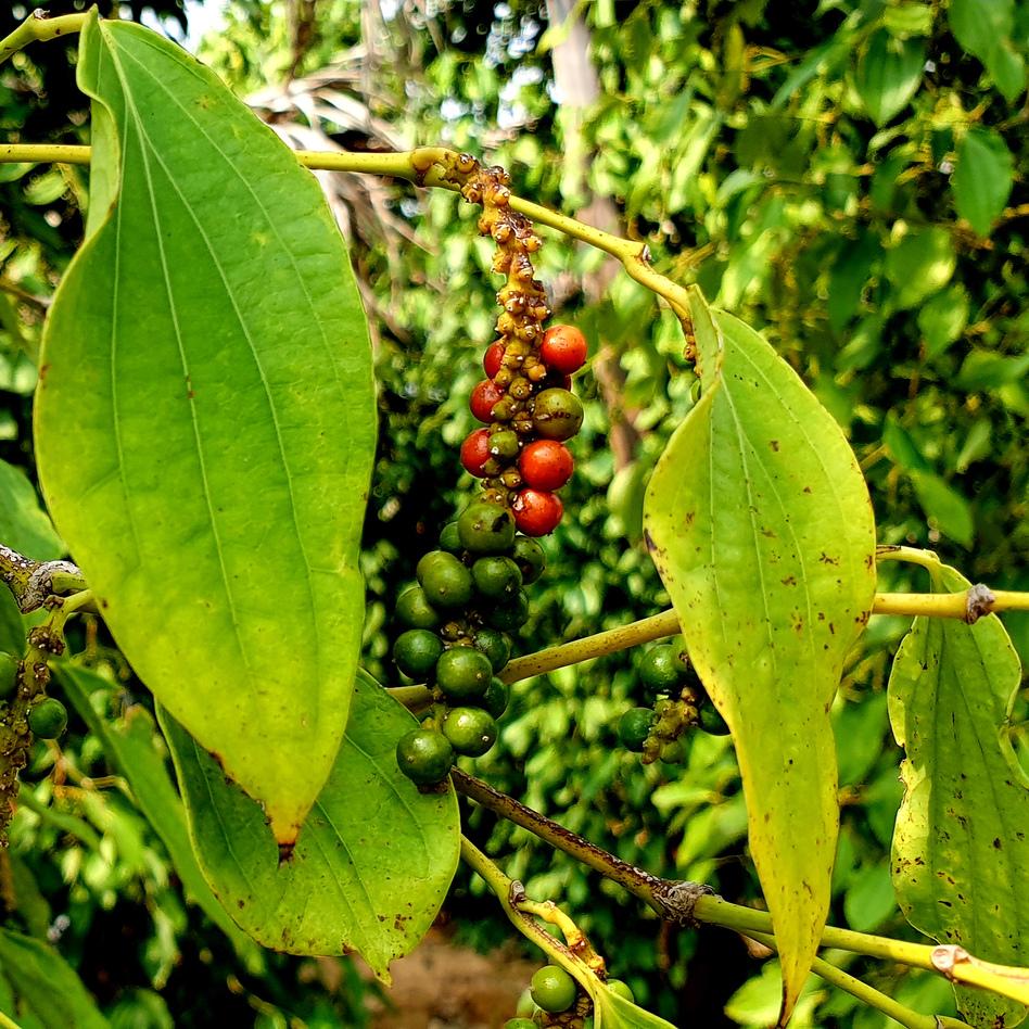 Red peppercorns beginning to mature before harvest at La Plantation. (Michael Sullivan/NPR)