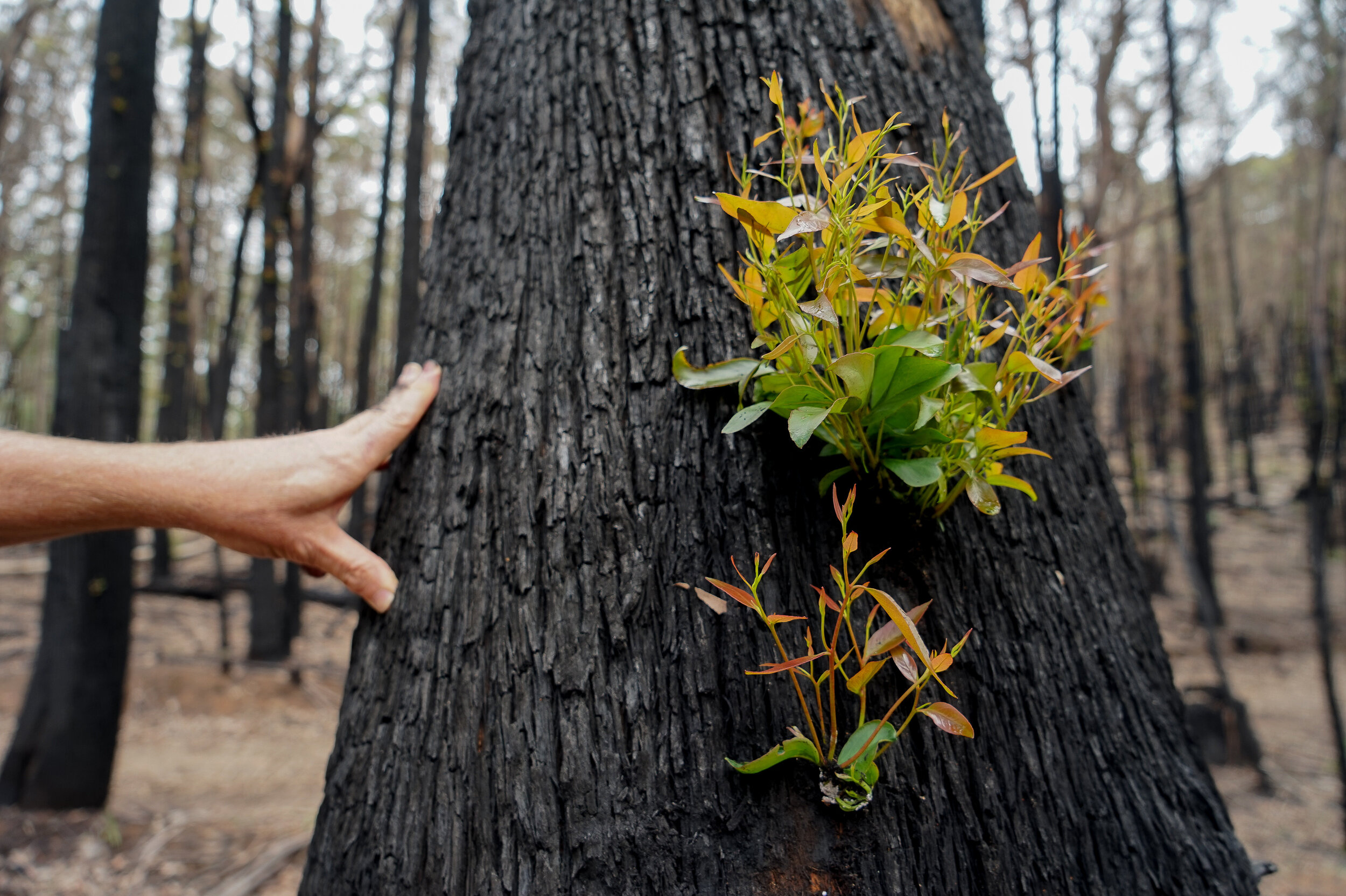 Regrowth Seen in Australia's Burned Forests