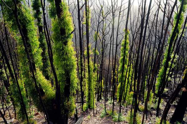 Epicormic growth covers fire damaged trees in New England National Park. The fire burnt with high intensity on these steep ridges, burning the trees' canopies.