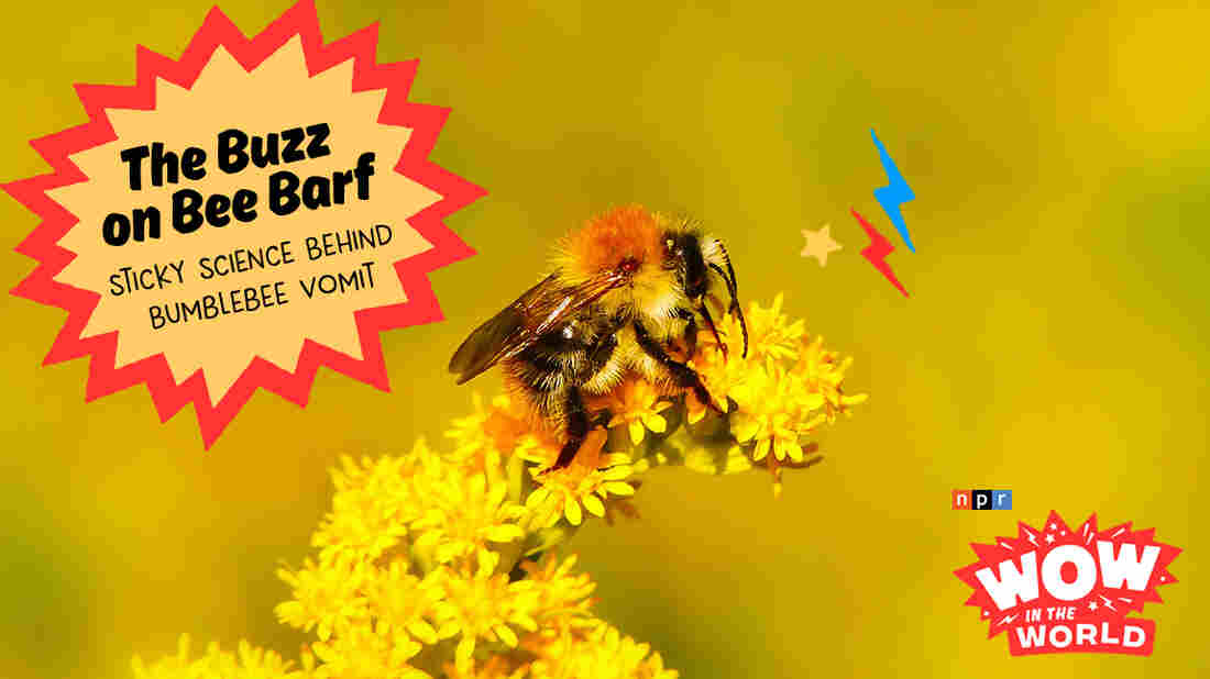 Once upon a time, scientists believed that bees chose plants with the sweetest nectar. But new research shows that there's actually more to the story. Join Mindy and Guy Raz for an epic tale of one Gramma BEE-Force, and a bunch of barf - for SCIENCE! It's the Who, What, When, Where, Why, How, and WOW of bumblebee vomit.