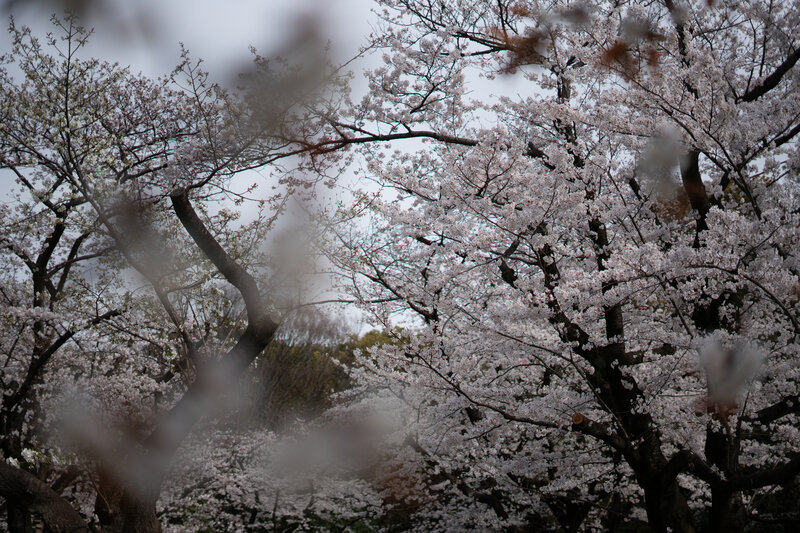 Japanese Cherry Blossoms Attract Crowds Despite COVID-19 Fears : The  Picture Show : NPR