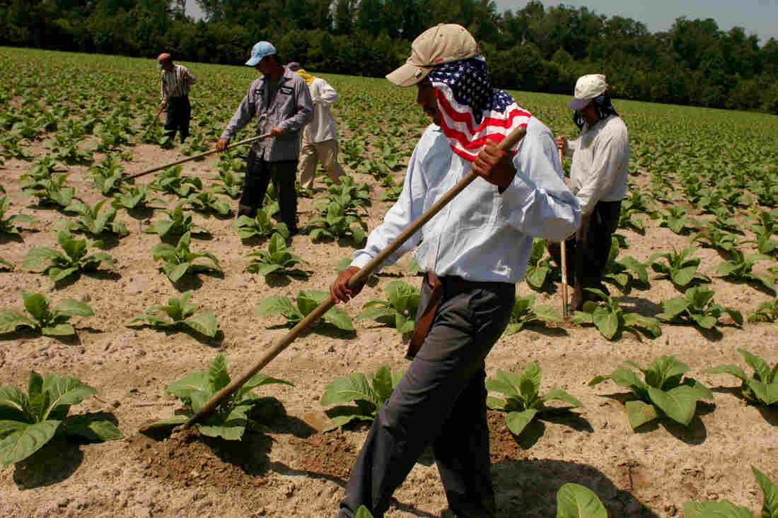 Mexican farmworkers who are allowed into America on a special seasonal harvest visa known as an H2A, weed a tobacco field in Greene County, North Carolina. (Photo by Andrew Lichtenstein/Corbis via Getty Images)