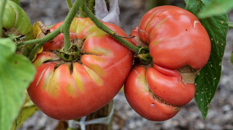 Pandemic Prompts People To Plant Vegetable Gardens Coronavirus