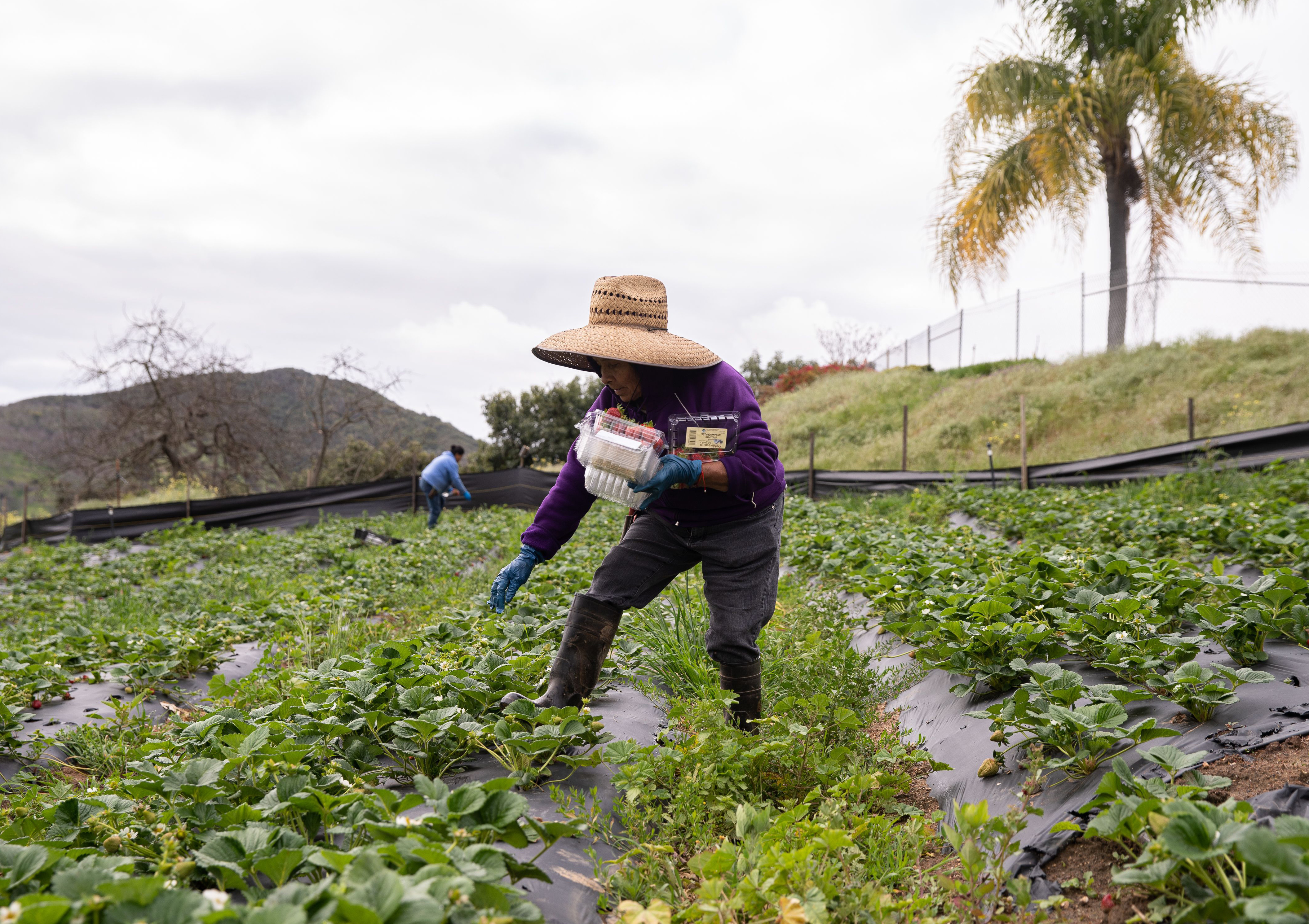 Essential Status Means Jobs For Farmworkers But Greater Virus Risk The Salt Npr