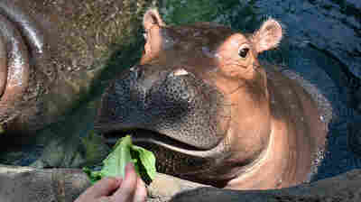 Who Feeds Fiona? Cincinnati Zookeepers Make Sure There Are No Hungry Hippos