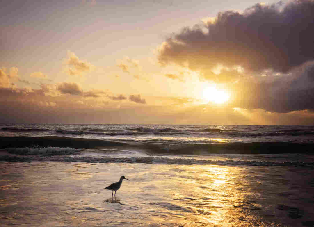 A willet bird wades in the foamy water in front of the setting sun at Fort Myers Beach, Fla., in winter.
