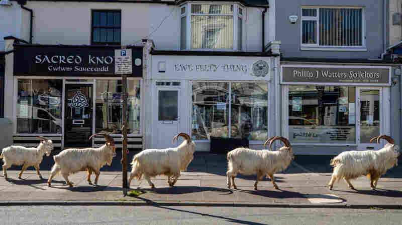 A Baaaad Crew Takes Over A Welsh Town: A Herd Of Goats