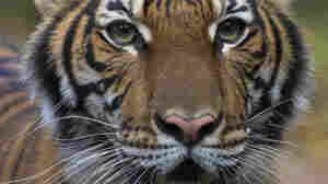 A Tiger Has Coronavirus. Should You Worry About Your Pets?