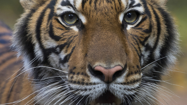 Nadia, a Malayan tiger at the Bronx Zoo in New York, has tested positive for the new coronavirus. It
