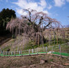 'A Reminder That Nature Is Strong': In Japan, A 1,000-Year-Old Cherry Tree Blooms