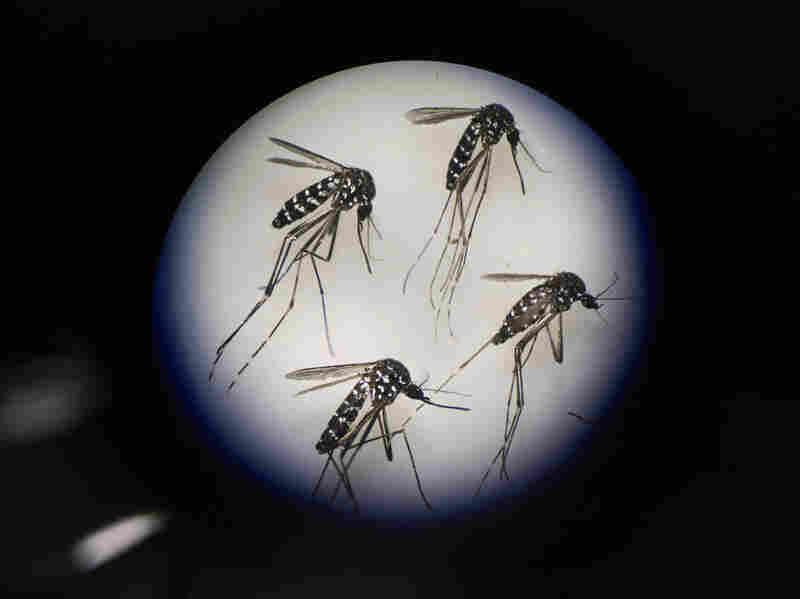 Adult female mosquitoes are seen under a microscope at the Sun Yat-Sen University-Michigan University Joint Center of Vector Control for Tropical Disease on June 21, 2016 in Guangzhou, China.