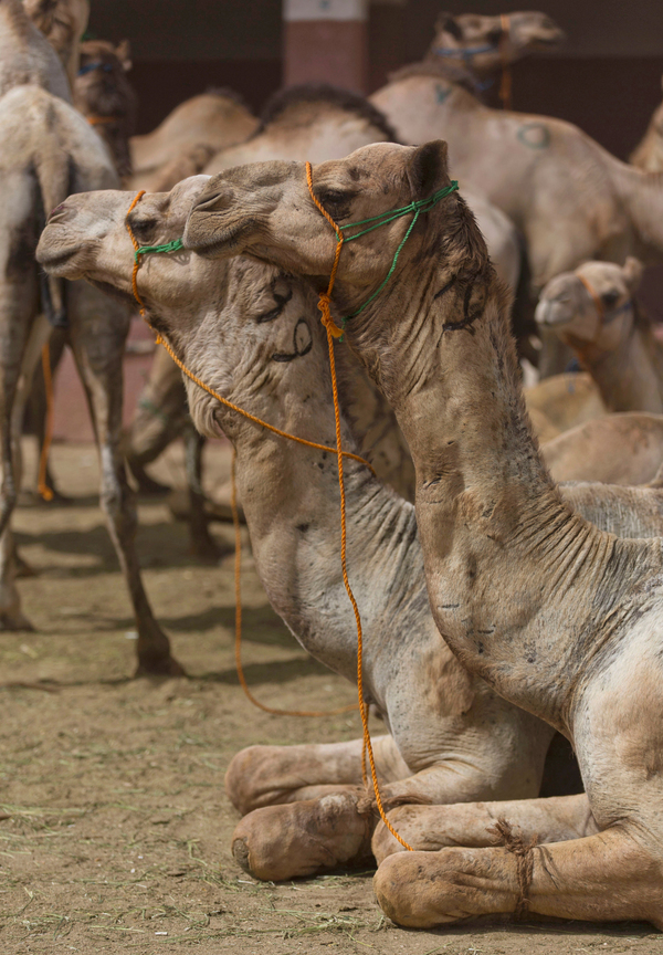 Animals have transmitted other coronaviruses to humans, who can contract Middle East respiratory syndrome by touching infected camels or consuming their milk or meat.