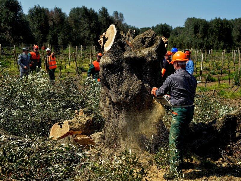 Sul da Europa pode perder U$ 22 bilhões em combate à doença mortal das oliveiras