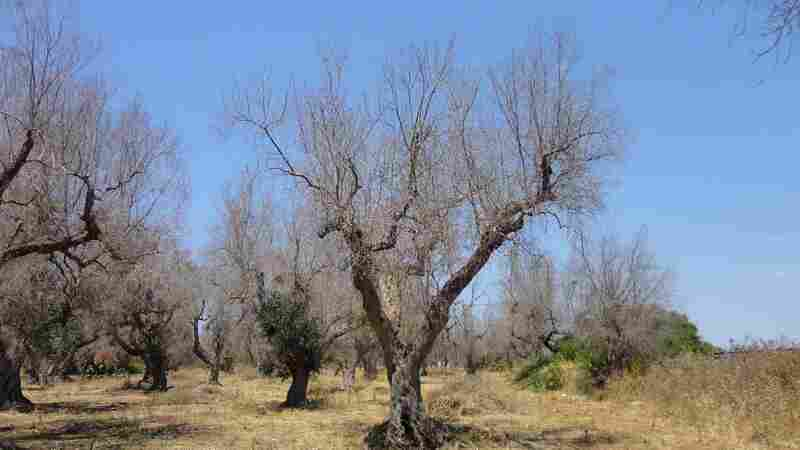 Southern Europe Could Lose $22 Billion Fighting Deadly Olive Tree Disease