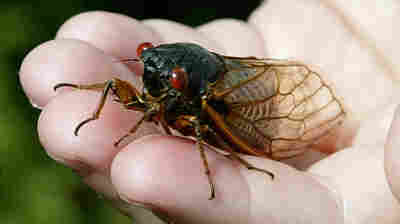 They're Back: Millions Of Cicadas Expected To Emerge This Year