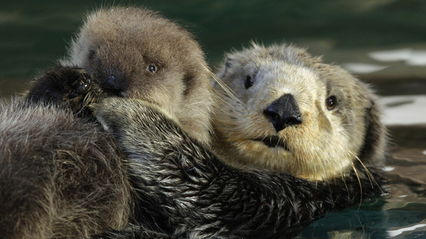 Sea otters are tourist magnets--and voracious eaters. Not everyone is happy about their comeback off the coast of British Columbia.
