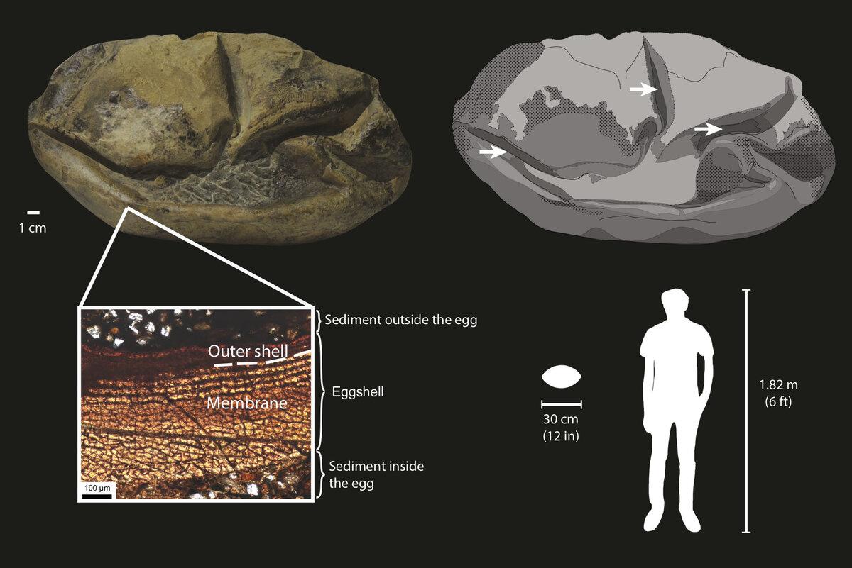 El fósil tiene una cáscara blanda, que se muestra en gris oscuro en el dibujo (arriba a la derecha), con flechas que apuntan a sus pliegues y el sedimento circundante se muestra en gris claro. La sección transversal (abajo a la izquierda) muestra que el huevo consiste principalmente en una membrana blanda rodeada por una cáscara externa muy delgada.