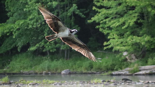 Osprey looking for alewives along the Sebasticook River in Maine. The removal of two dams has allowed migratory fish to return.