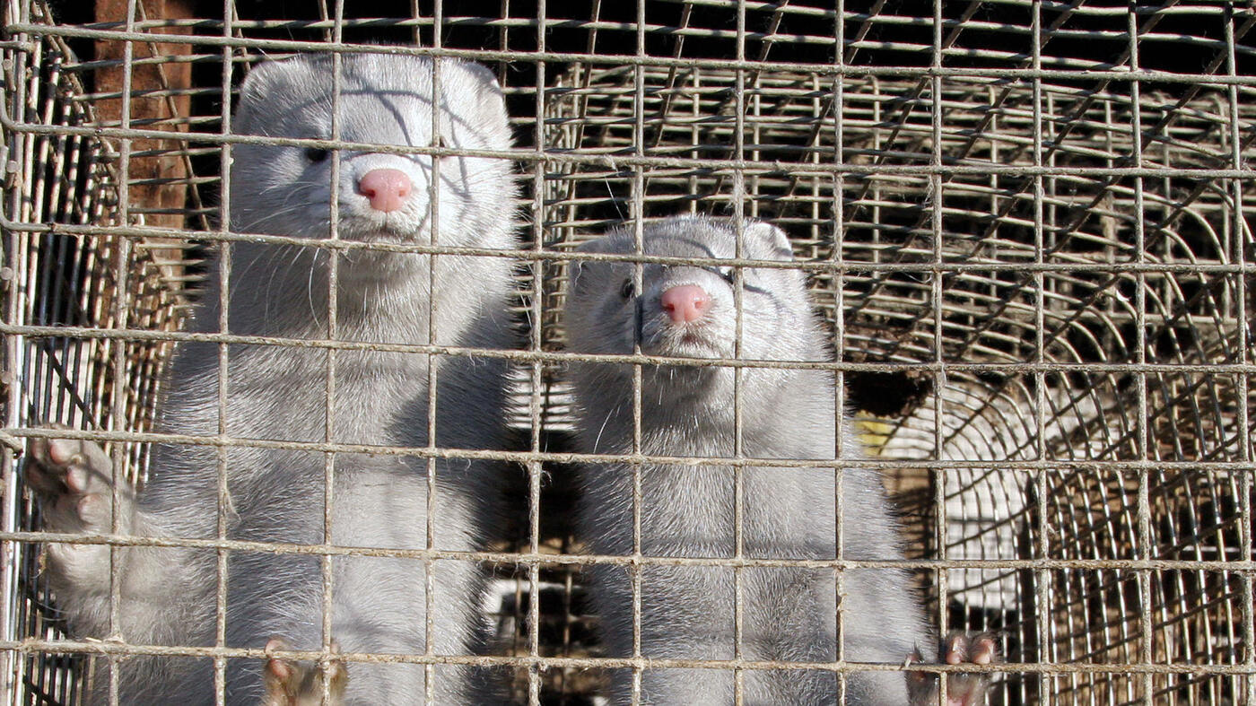 Dutch Minks Infected By Covid 19 And Appear To Infect Humans Goats And Soda Npr