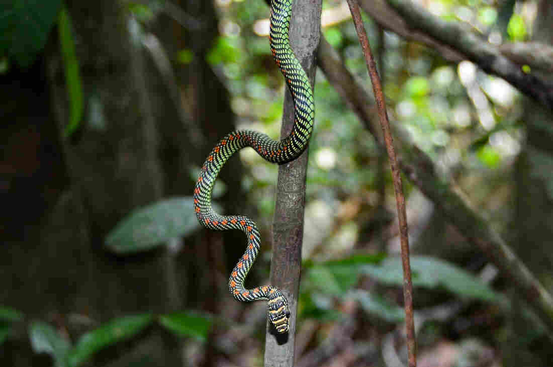 Snakes can glide through the air -- and this is how