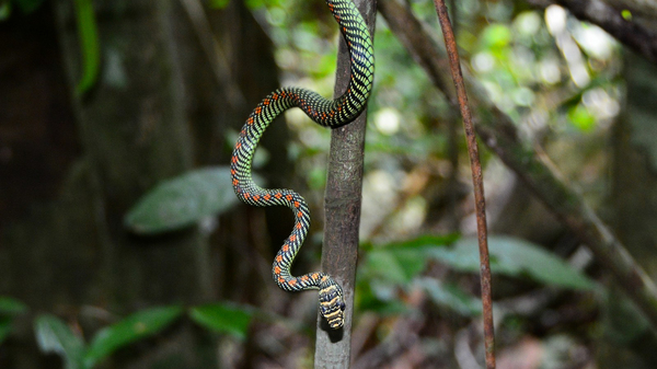 The snake Chrysopelea paradisi is seen in Malaysia