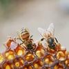 Honeybees Need Your Help