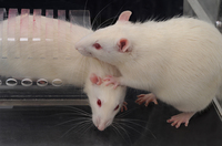 """Faced with a rat trapped in a restrainer, a free rat opens the trap's door to liberate the trapped animal (while stepping on its head — """"very rat-ish behavior,"""" says University of Chicago neurobiologist Peggy Mason)."""