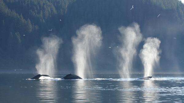 Humpback whales feed together just outside Glacier Bay, Alaska.