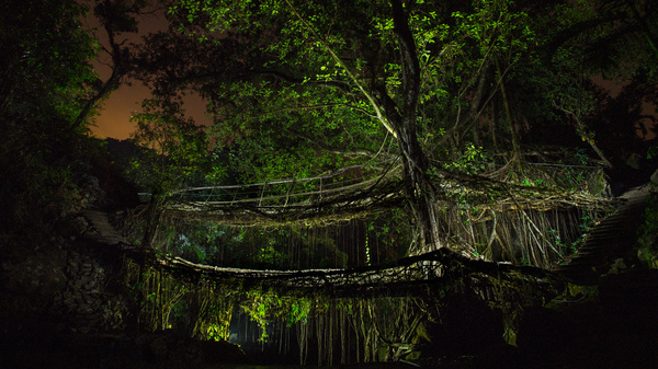 A single Ficus elastica tree forms the backbone of a double-decker bridge near the village of Nongriat in the Indian state of Meghalaya.