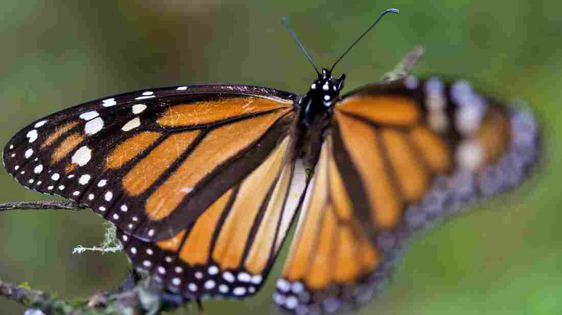 The Science Behind Butterfly Vision And Body Temperature : Short Wave - NPR