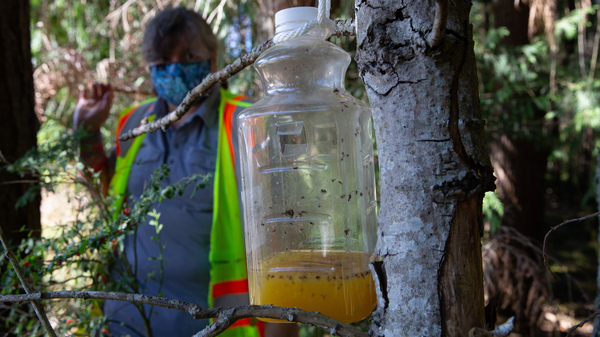 A bottle containing orange juice and rice cooking wine is set as a trap by Jenni Cena, pest biologist and trapping supervisor from the Washington State Department of Agriculture, in an effort to catch Asian giant hornets, also known as murder hornets, on July 29. Asian giant hornets attack and destroy honeybee hives.