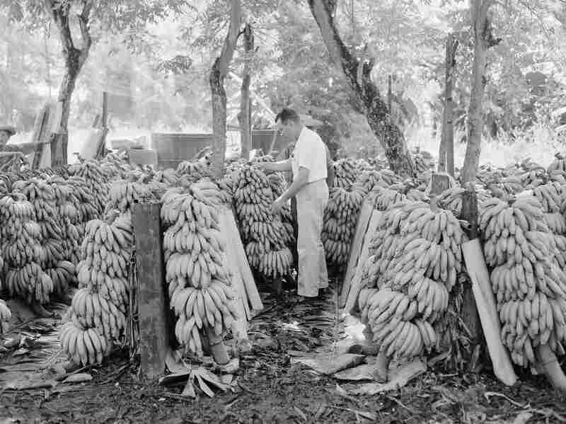 A United Fruit Company official looks over looks over the harvested bananas to see which are fit for market in Honduras on Sept. 3, 1954.