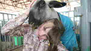 For Colorado 4-H Kids, The Livestock Show Goes On Despite The Pandemic