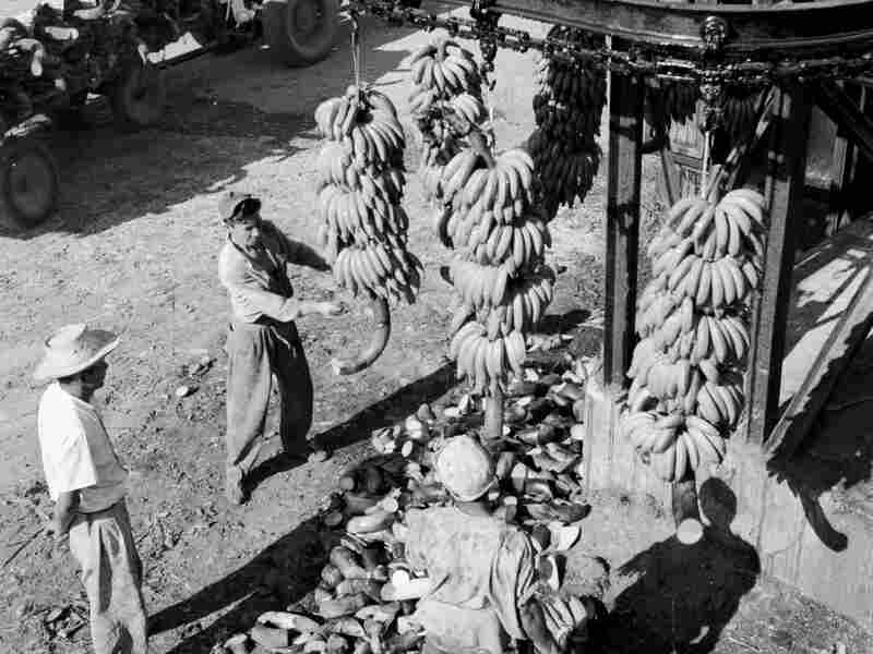 Workers cut down the stalks of bunches of bananas in the Costa Rican town of Golfito in 1950.