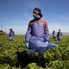 Sem proteções federais, trabalhadores agrícolas correm o risco de infecção por coronavírus para colher safras